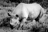 Black and white portrait of a rhinoceros