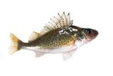 Fish ruff (Gymnocephalus cernuus) isolated