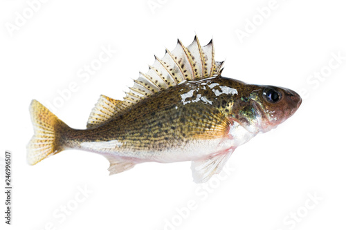 Leinwandbild Motiv Fish ruff (Gymnocephalus cernuus) isolated