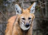 Maned wolf, Chrysocyon brachyurus, beautiful head