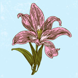 Flower of lily. Color card. Engraving style. Vector illustration.