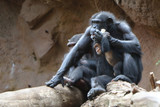 the chimpanzee family sits at the foot of the mountain