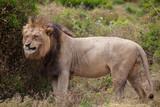 male lion in umfolozi National Par, South Africa