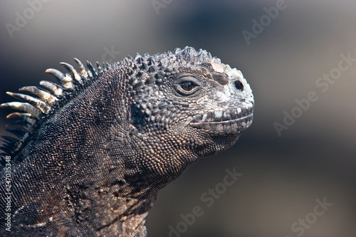 canvas print picture iguana, endemic reptile on the Galapagos Islands, Ecuador , pacific