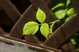 Fresh raspberry leaf in rusty fence