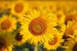 Leinwandbild Motiv closeup of beautiful sunflower