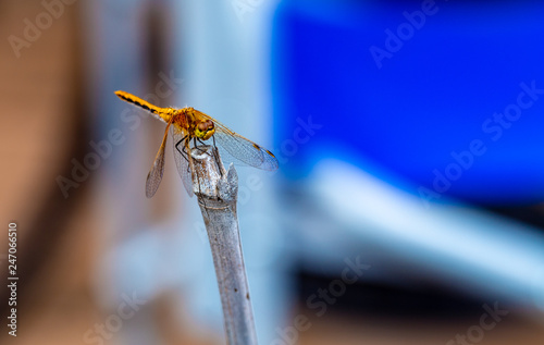 Yellow dragonfly on branch - 247066510