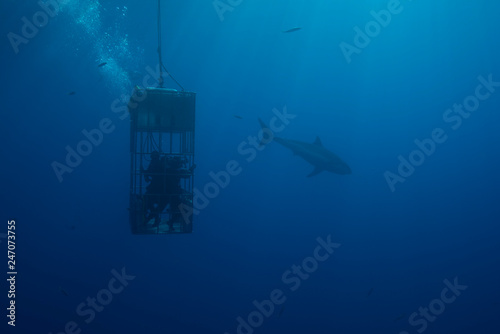 Great White Shark  in cage diving