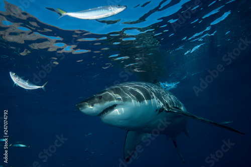 mata magnetyczna Great White Shark in cage diving
