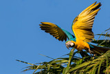Blue and Yellow Macaw, brazilian exotic bird from Pantanal