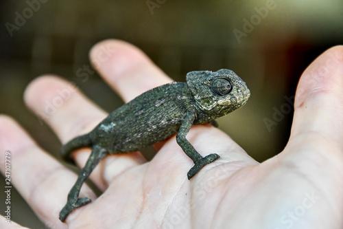 chameleon on hand, photo as background, baby chamaleon