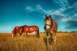Horses grazing on ranch. - 247115324