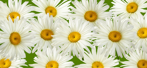 Fresh white chamomile background with clipping path