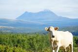 Norwegen im Sommer / Schafe / Kühe