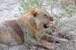 Lion resting under bush in heat