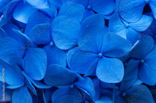 Blue Hydrangea background. Hortensia flowers surface. - 247144793