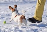 Kleiner, braun-weißer Hund spilet im Schnee mit einem grünen Tennisball - 247155586