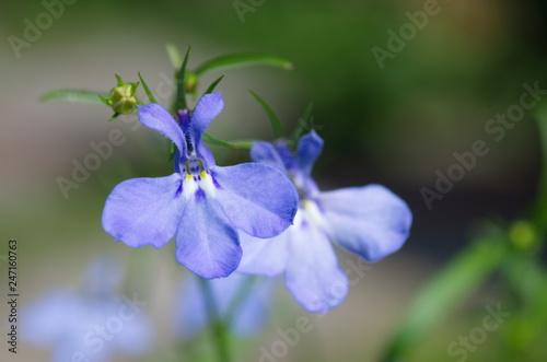 Lobelia flower close-up - 247160763