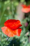 Mohnblüten rot