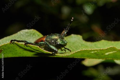 Macro photograph of a beetle  - 247175371