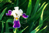 Close-up of  purple iris flower on green background