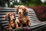 two adorable dachshund puppies posing together on a bench