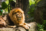 Lion african male with a beautiful mane in the wild nature during the day in sunlight