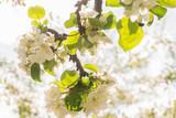 Flowering apple tree branch in bright sunlight