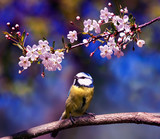 natural background with cute bird chickadee sitting among the white flowers of the cherry in the may spring fragrant garden