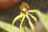 Orchid light green petals, dark red flower