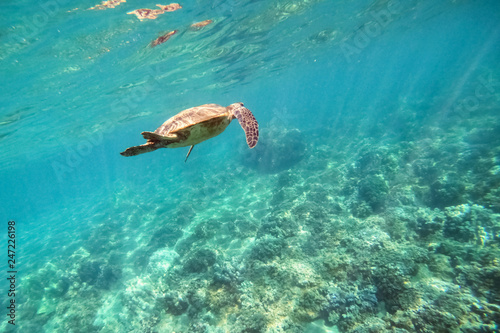 Green sea turtle above coral reef underwater photograph in Hawaii © Mariusz Blach