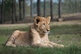 Lion cub just laying on the grass