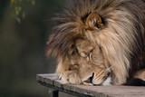 Duży męski lew śpiący