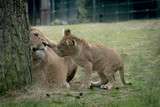 Small lion cub playing with his mom