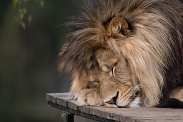 Big male lion sleeping