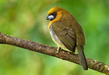 Prong-billed Barbet - Semnornis frantzii - a distinctive, relatively large-billed bird native to humid highland forest - 247233115