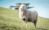 Closeup image of a sheep on a farm with copy space - 247234175