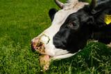 Funny Face Cow, Bavaria, Germany