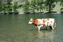"""Постер, картина, фотообои """"A beautiful bull stands in the water in the Chelusman Valley in the Altai Republic in Russia."""""""