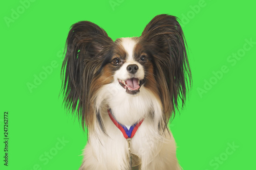 Beautiful dog Papillon with a medal for first place on the neck on green background - 247262772