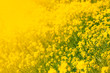 Summer natural background with yellow blooming rape field, blurred image, selective focus - 247264389