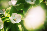 Beautiful blooming apple trees, spring natural background with fabulous bokeh effect, outdoor nature, soft focus, partially blurred image - 247264388