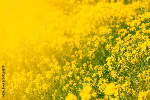 Foto Murales Summer natural background with yellow blooming rape field, blurred image, selective focus