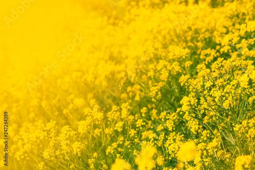 Leinwandbild Motiv Summer natural background with yellow blooming rape field, blurred image, selective focus