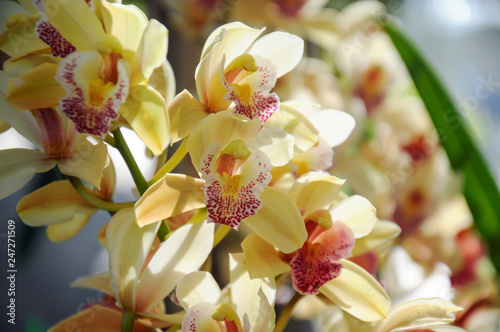 Yellow orchid in bloom at Chiangmai flower festival 2019, Thailand - 247271509