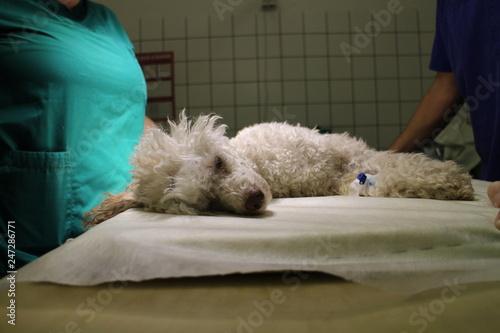 fototapeta na ścianę Poodle dog in anesthesia on operating table