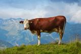 satisfied Alpine cows