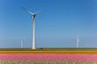 Wind turbines and a field of pink tulips in Noordoostpolder, Netherlands