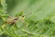 A Meadow Grasshopper (Chorthippus parallelus) perched on bracken.