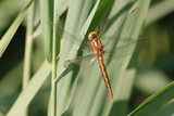 Libelle im Schilf - 247301564